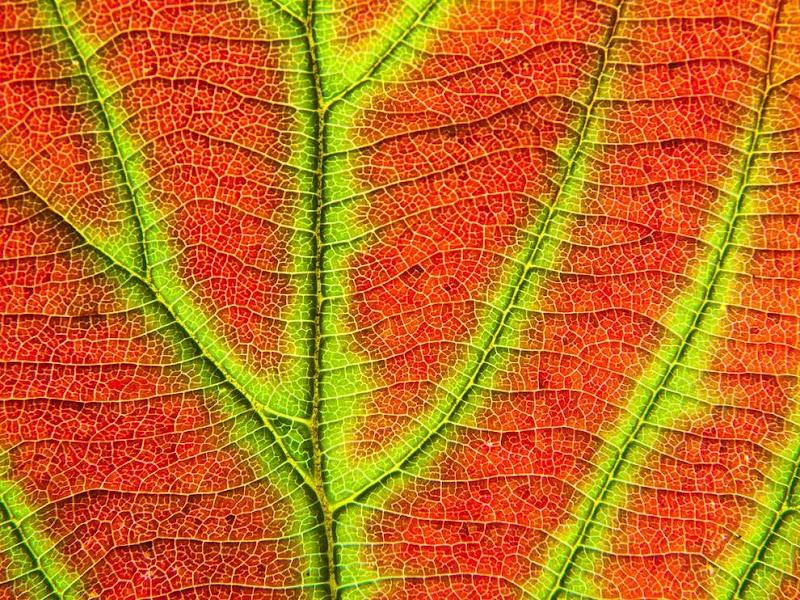 viburnum-leaf-adirondacks_38225_990x742.jpg