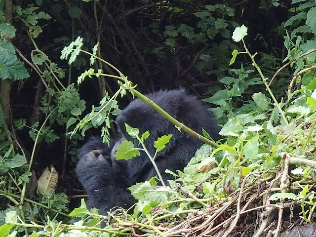 Gorilla Tracking 032.JPG