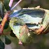 Eriococcidae gall