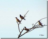 062 Rosy Starling ( Vaiyu )