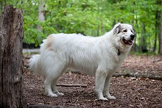 320px-Great_Pyrenees_Mountain_Dog