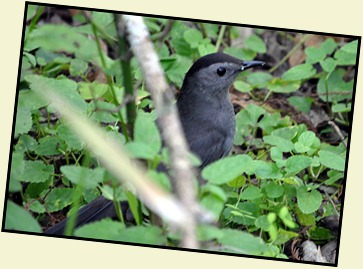 08 - Animals - Gray Catbird
