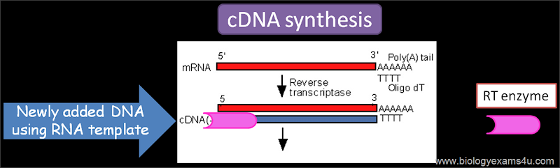 Reverse transcriptase in rDNA technology