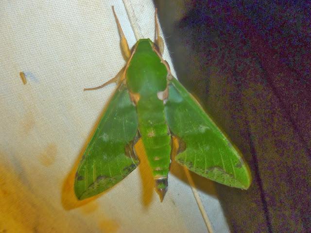 Macroglossinae : Euchloron megaera (LINNAEUS, 1758). Mananara Lodge, Anjozorobe (Madagascar), 4 janvier 2014. Photo : J. Marquet