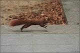 Nusskumpel / Eichhörnchen - Schnell weg mit der Beute.