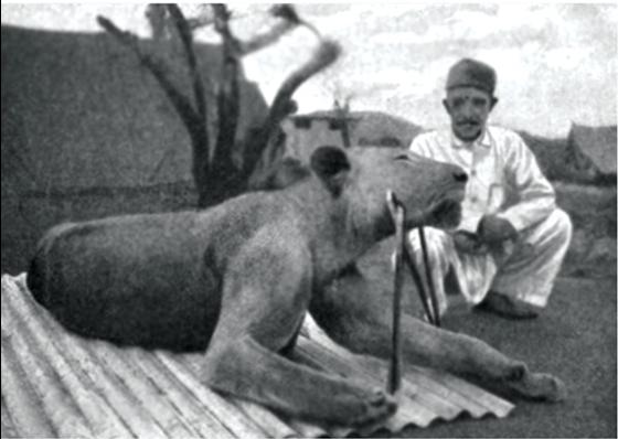 Second_Tsavo_lion