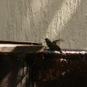 Beija- flor ( Colibri)