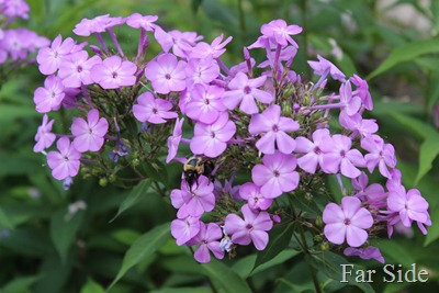 Bees on the Phlox