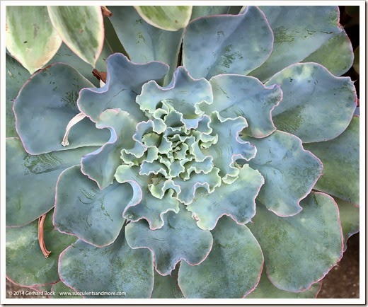 141030_Echeveria-Lady-Aquarius_001