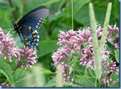 0742 North Carolina, Blue Ridge Parkway - Pipevine Swallowtail on Joe-Pye Weed - Craggy Gardens Visitor Center