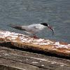 Artic Terns (adults)