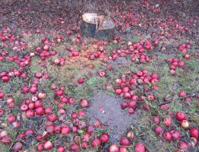 Gefällter Apfelbaum