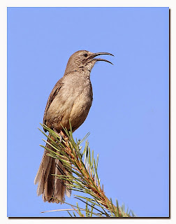 california-thrasher