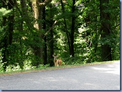 0959 Virginia - Blue Ridge Parkway North - white-tailed doe