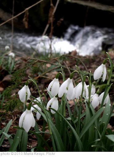 'Cambo snowdrops' photo (c) 2010, Maria Keays - license: http://creativecommons.org/licenses/by/2.0/