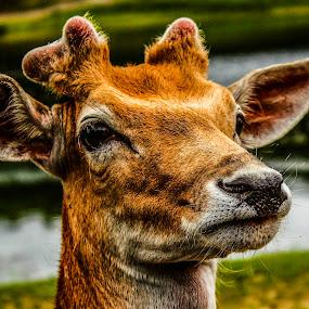 yep by Adrian Kurbegovic - Animals Other Mammals