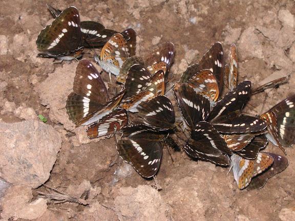 Ladoga (Limenitis) camilla japonica MÉNÉTRIES, 1857 et Neptis rivularis. Chemin de Muraveka à Novogordeevka, à l'est d'Anutchino (Primorskij Kraj, Russie), 2 juillet 2011. Photo : Jean Michel
