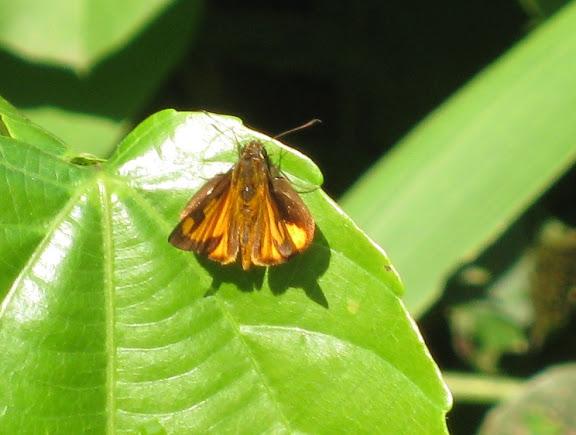 Hesperiinae : Osmodes sp. Atewa Hills (Ghana), 28 décembre 2009. Photo : Henrik Bloch
