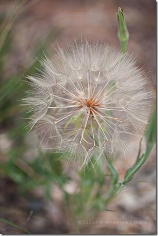 giant seed puff - photo by Adrienne Zwart