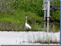 7749 Black Point Wildlife Drive, Merritt Island National Wildlife Refuge, Florida - Great egret