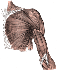 490px-Arm_muscles_front_superficial