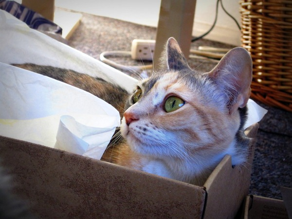 cat in a shoebox