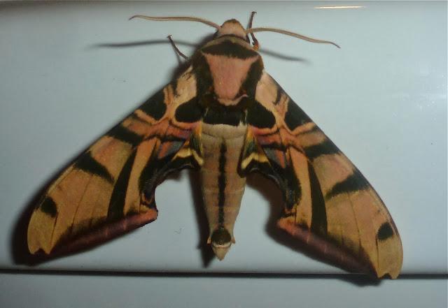 Smerinthinae : Batocnema cocquerelii (BOISDUVAL, 1875), endémique. Mananara Lodge, Anjozorobe (Madagascar), 6 janvier 2014. Photo : T. Laugier