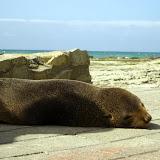 South Island - Kaikoura - a baby seal