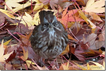 Song Sparrow in the leaves