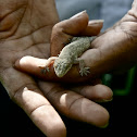 Spiny Tailed House Gecko