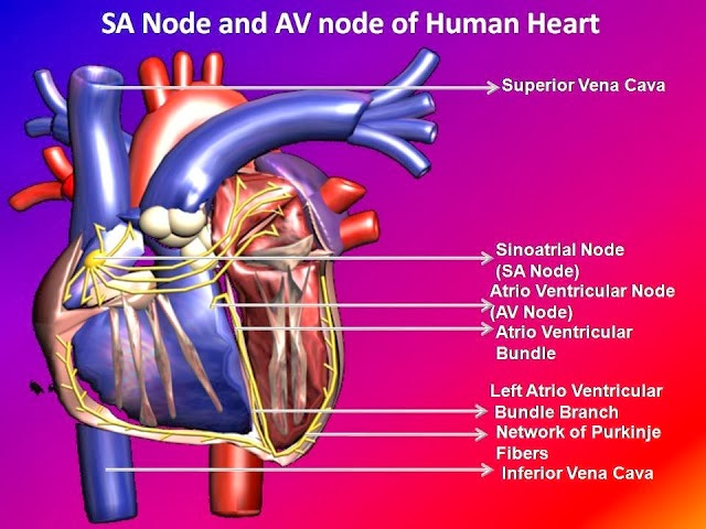 SA node and AV node of heart