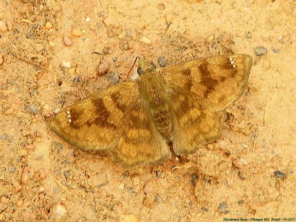 Pyrginae : Nisoniades sp. ; probablement : Nisoniades bipuncta (SCHAUS, 1902). Pitangui (MG, Brésil), 18 mai 2013. Photo : Nicodemos Rosa