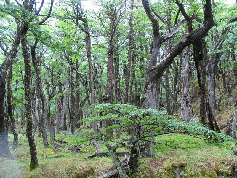 Bosque de Lengas