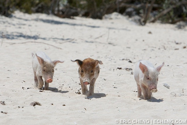 pigs-of-bahamas-3