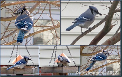 Blue Jay solo collage