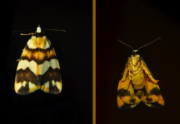 Arctiidae : Lithosiinae : Termessa gratiosa WALKER, [1865]. Umina Beach (NSW, Australie), 18 octobre 2011. Photo : Barbara Kedzierski