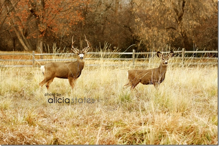 alicia-states-photography-deer-02