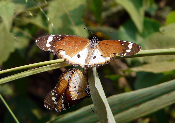 Couple de Danaus chrysippus L., 1758. Adadekrom (Ashanti, Ghana), 18 décembre 2009. Photo : J. F. Christensen