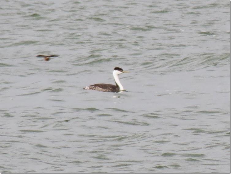 Weekend Birding: Glaucous-winged Gull at CJ Strike Reservoir