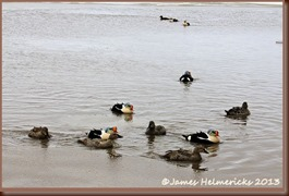 King Eiders Flood waters