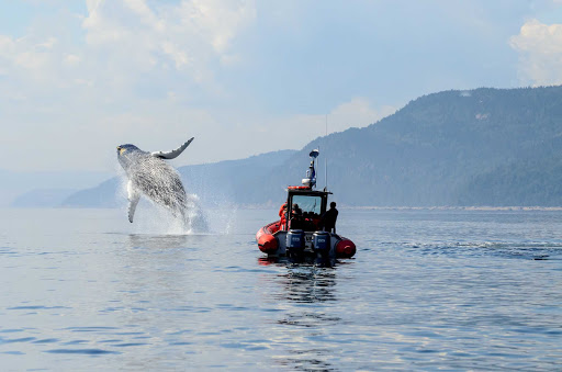 A whale breaches the surface during a whale-watching expedition in Lake Manicouagan in central Quebec.