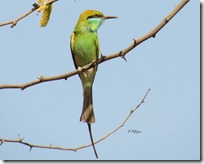 023 Green Bee Eater ( Patrango )