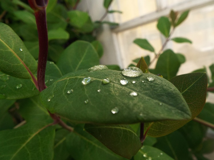leafy and dew drops