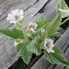 Common Marshmallow, bijeli sljez