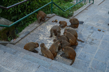 Maimute mancand in Nepal