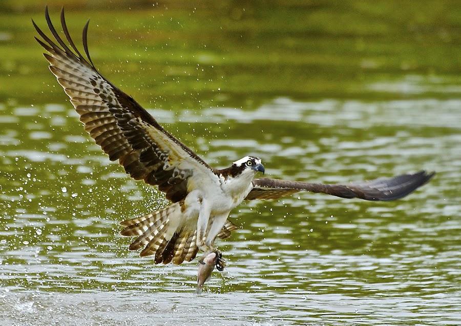 Fishin' On The River by Roy Walter - Animals Birds ( bird, flight, wild, fish, wings, feathers, osprey, animal,  )