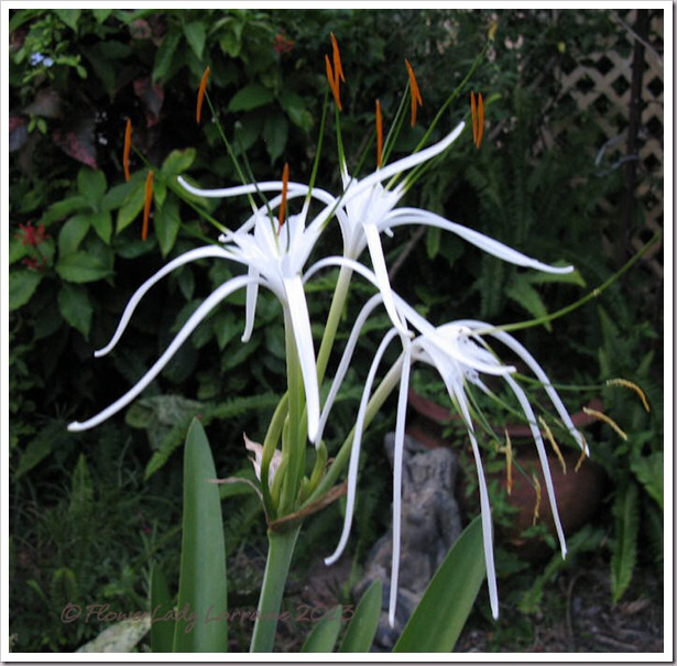 07-24-spider-lily3
