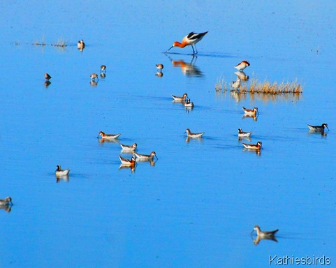12. avocet n phaloropes-kab