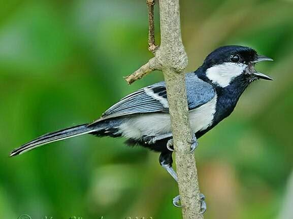 Download suara burung gelatik batu/gelatik wingko