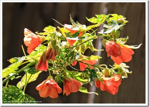 150318_home_023_Abutilon_pictum
